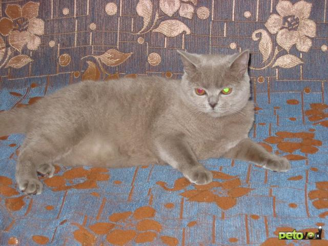 Продаю: Продается британская кошка