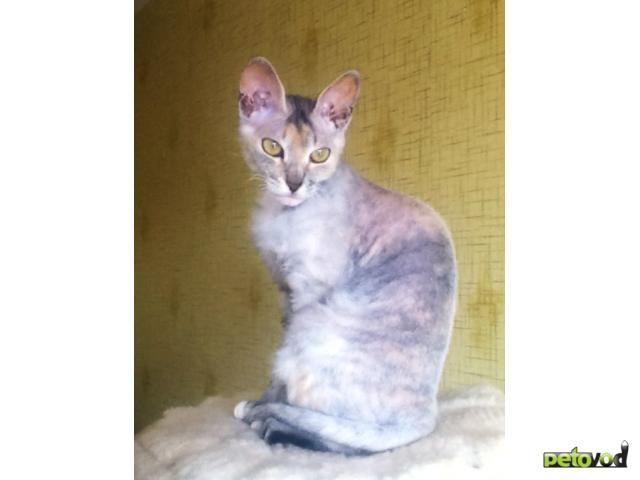 Вязка: Вязка Донской сфинкс Кошечка ищет жениха