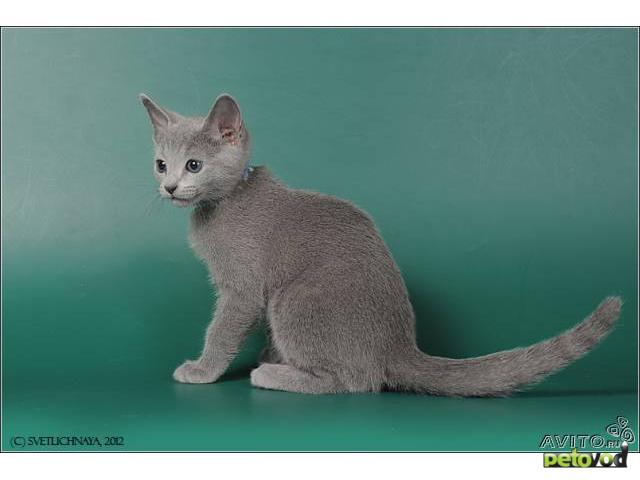 Продаю: Русские голубые котята