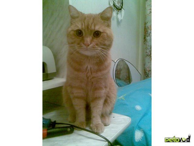 Отдам в дар: Отдам британского кота в хорошие руки