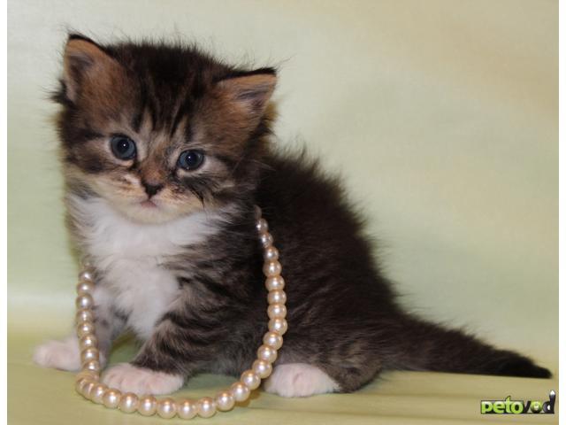 Продаю: Шотландского котенка предлагаем