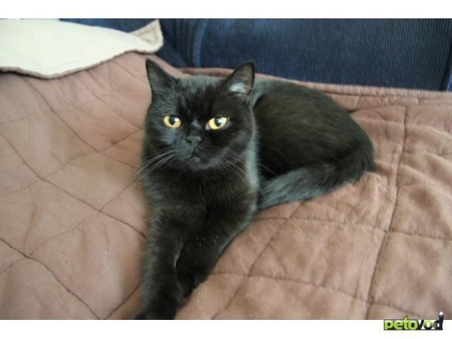 Отдам в дар: Отдам в дар британскую кошку