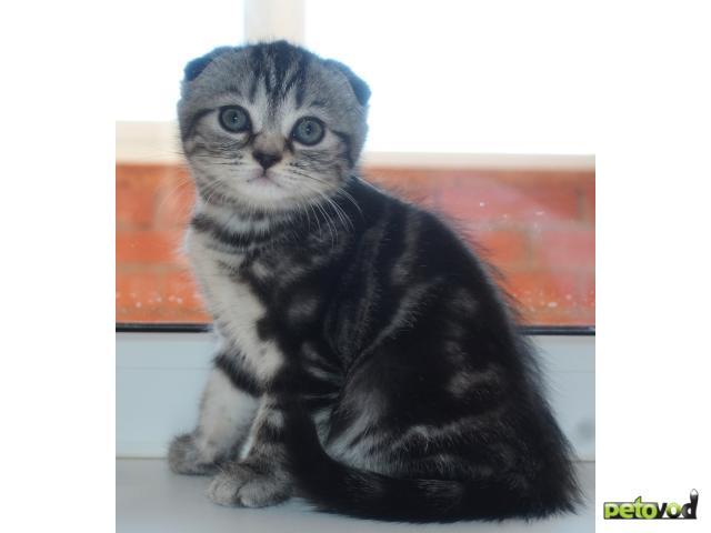 Куплю:  шотландский котят