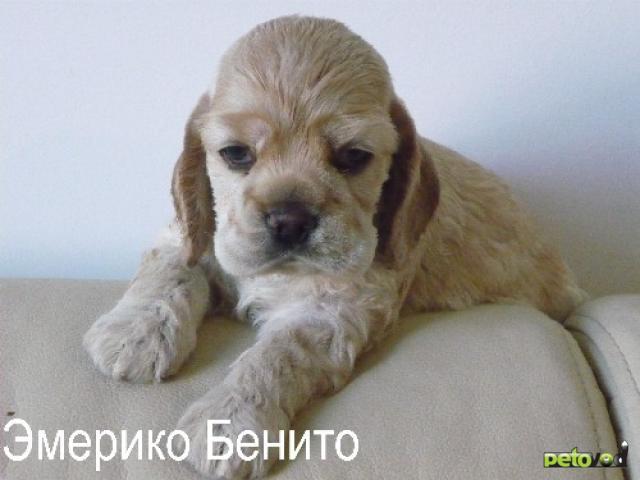 Продаю: Перспективные щенки Американского кокер спаниеля