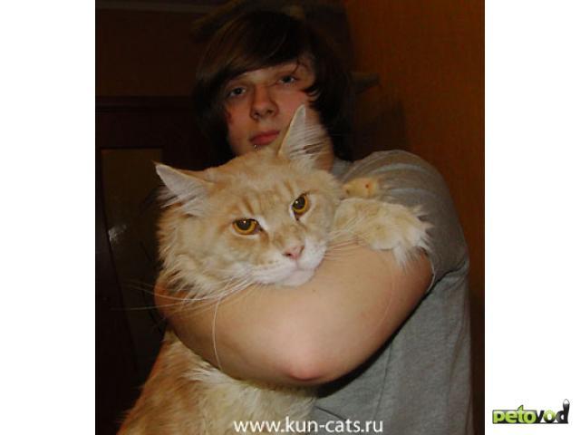 Продаю: Котята мейн кун от кота - гиганта 12 кг