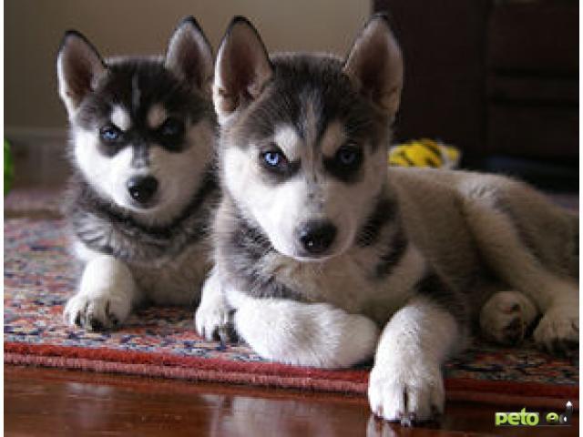 Отдам в дар: Питомник предлагает щенков Сибирских хаски