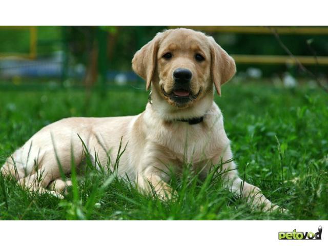 Продаю: Продается щенок золотистого ретривера