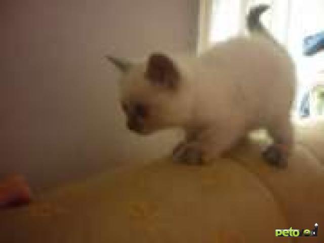 Продаю:  котят – британские короткошерстные