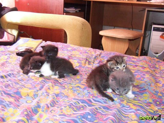 Отдам в дар: Котята от британской кошки - метисы