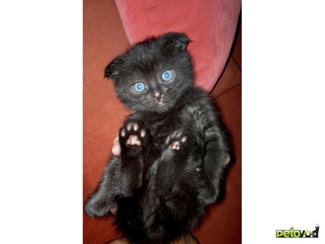 Продаю:  вислоухих шотландских котят гЧехов