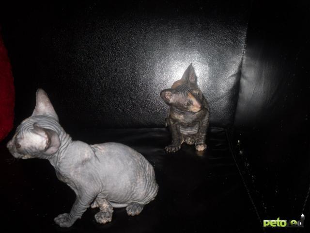 Продаю: Котята донского сфинкса
