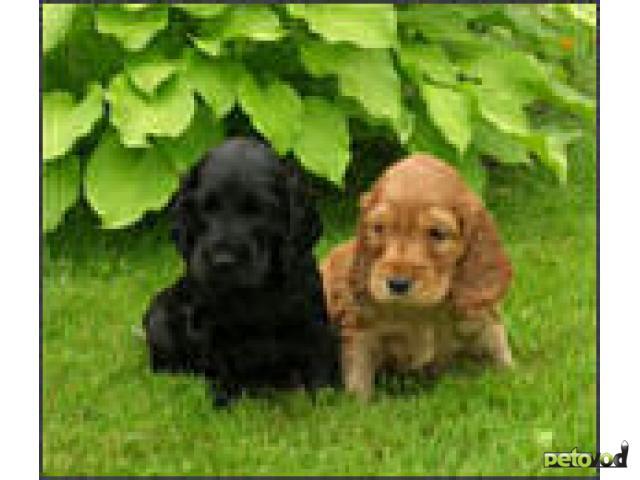 Продаю: Английский кокер спаниель Отличные щенки