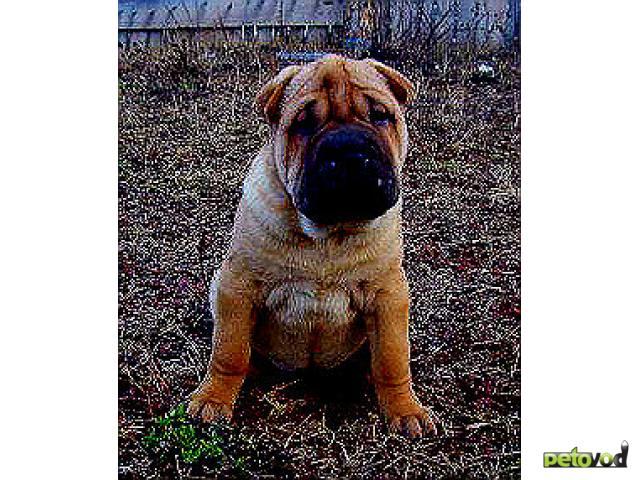 Продаю: Шарпей щенок за символическую плату, срочно