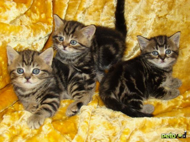 Продаю: Выбирайте котёнка британца
