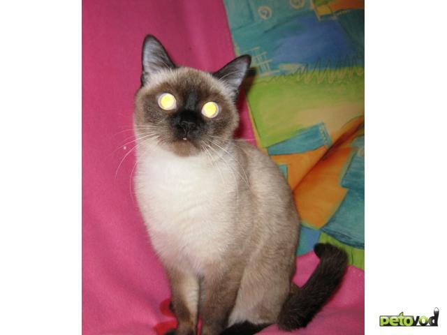 Вязка: Сиамская кошка ищет сиамского кота для вязки