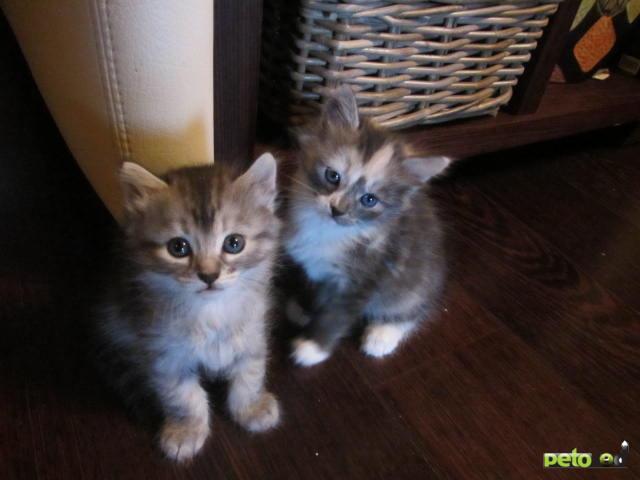 Отдам в дар: Трехцветные и серые котята в дар