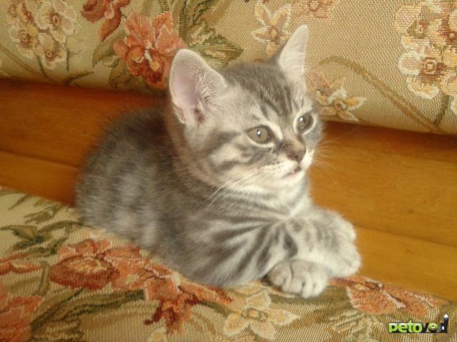 Продаю: Британский короткошерстный котик