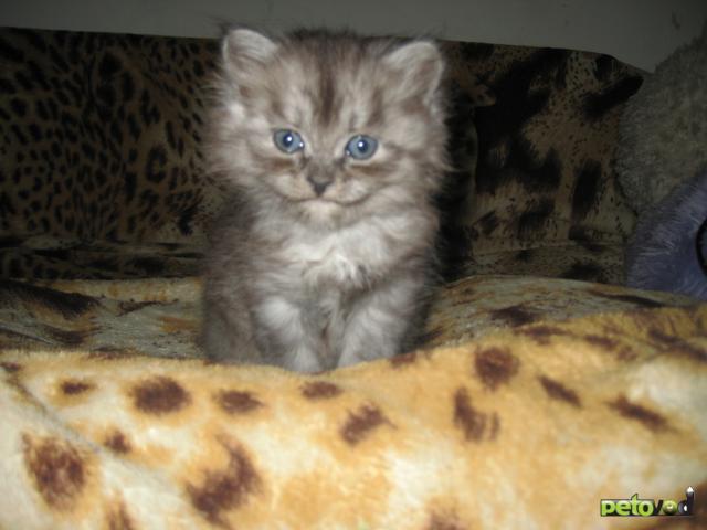 Продаю: Персидские котята