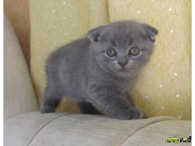 Продаю: Шотландские вислоухие котики