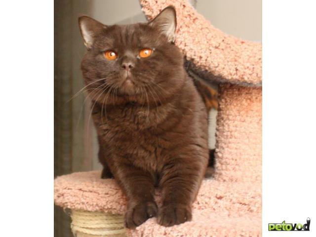 Продаю: Отдам британского кастрированного кота, 1,5 года