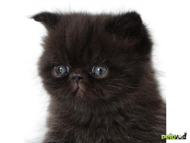 Продаю: Черный кот (экзот) приносит в дом удачу