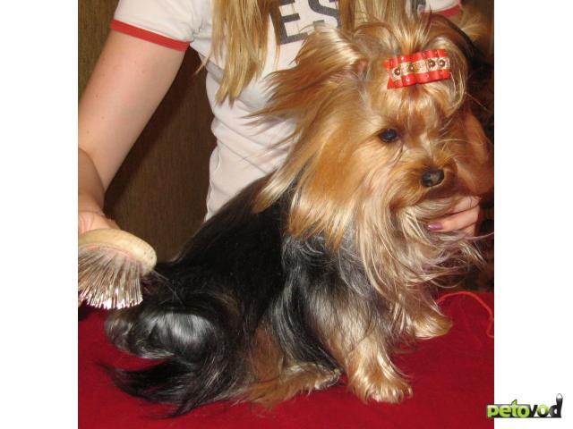 Продаю: Йоркширский терьер щенки
