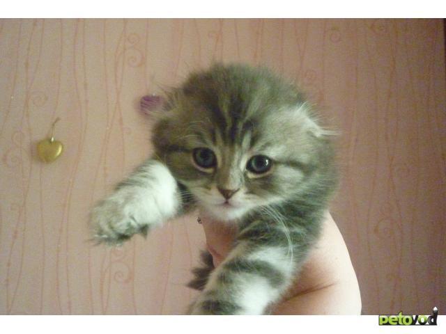 Продаю: Шотландские фолд и хайленд фолд котята