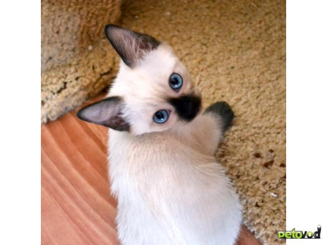 Продаю: Тайские котята в Краснодаре