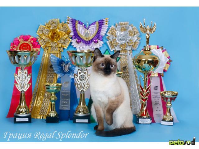 Продаю: Продается очень красивый тайский котик