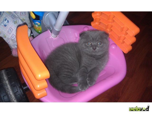 Продаю: Котенок скотиш фолд шоу класс