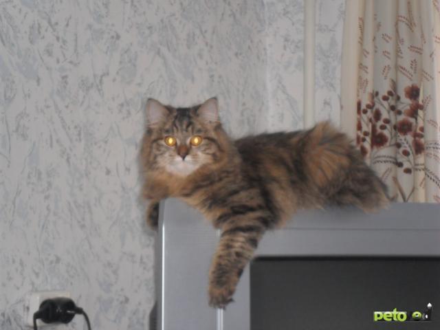 Вязка: Ищем полуперсидского кота для вязки