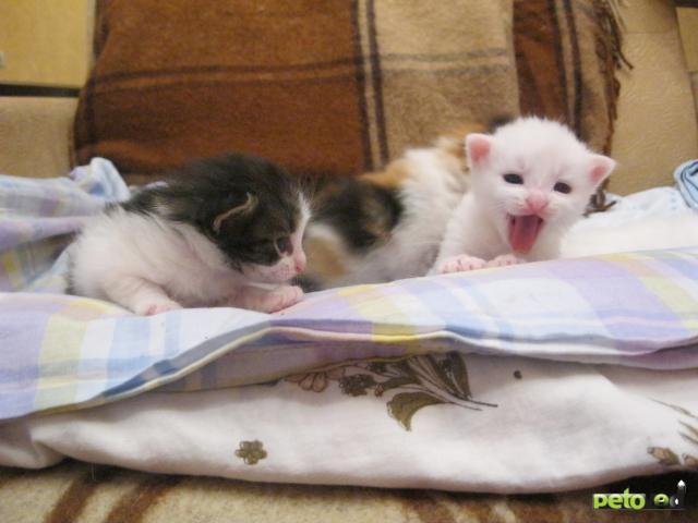 Отдам в дар: Сибирские длинношерстные котята бесплатно