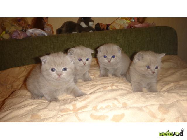 Продаю: тся шотландские и британские плюшевые котята