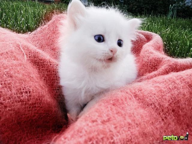 Продаю: Прекрасные котята элитной породы Турецкая Аногора