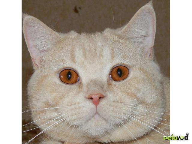 Вязка: Британский кот приглашает на вязку