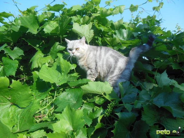Продаю: Супер тяжеловесы - британские котята