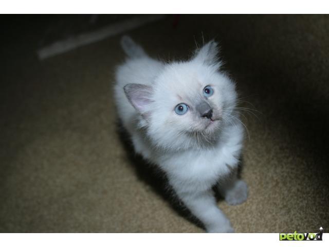 Продаю:  невских маскарадных котят