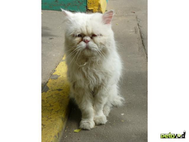 Отдам в дар: Персидский кот выброшен на улицу СРОЧНО