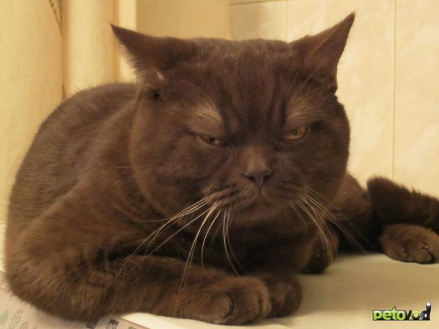 Потерялся/Нашелся: Пропал британский кот, р-н станции Переделкино