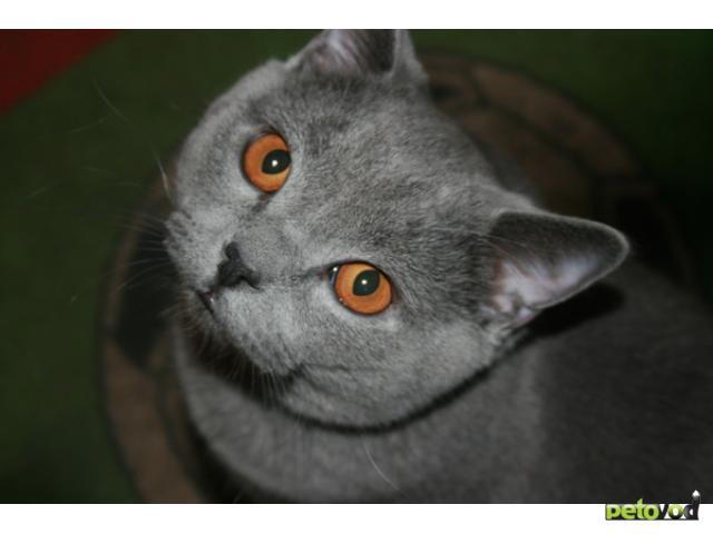 Отдам в дар: Отдам котика скоттиш страйт в хорошие руки