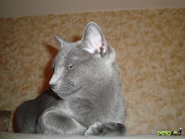 Продаю: Русская голубая порода - кот